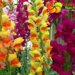 Hat-gion-hoa-mom-soi---Antirrhinum-dragano-mix