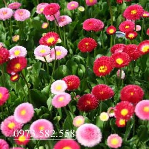 Hat-giong-hoa-bellis-chat-luong