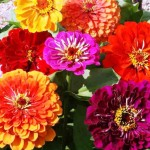 Hat-giong-hoa-cuc-la-nham---zinnia-moon-light-mix
