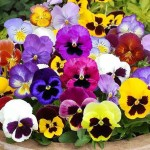 Hat-giong-hoa-pansy