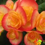 Hat-giong-hoa-thu-hai-duong---orange-begonia