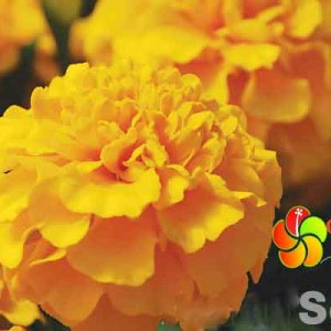 Hat-giong-hoa-van-tho-kim-tinh---Marigold-luciter-mix