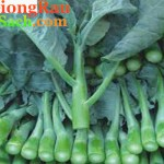 Hạt giống rau cải làn