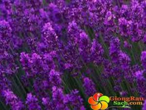 Hat-giong-hoa-Oai-Huong---Lavender
