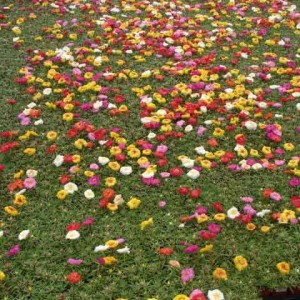 Trong-hoa-muoi-gio-thanh-tham---Portulaca-Sunseeker-Mix