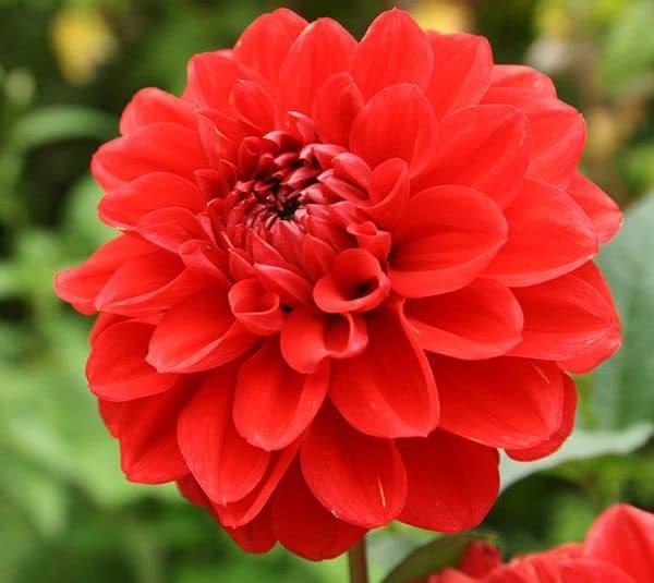 Vẻ đẹp loài hoa thược dược