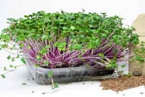 Rau - mam-cu-cai-do-trồng trong khay nhua