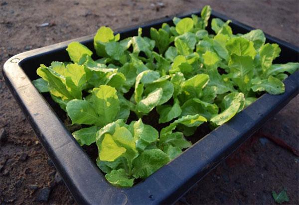 Khay nhựa trồng rau sạch thông minh