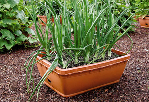 Cải tạo đất giàu dinh dưỡng trồng hành tỏi trong chậu