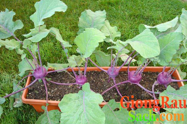Su hào tím trồng trong chậu gần đến thời điểm thu hoạch