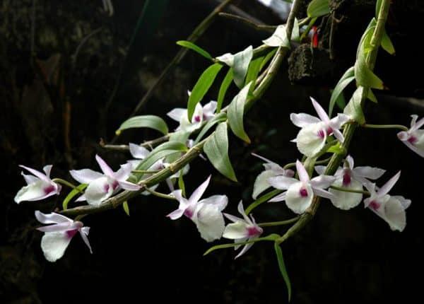 Các giống lan rừng đẹp: Lan Hạc Vỹ