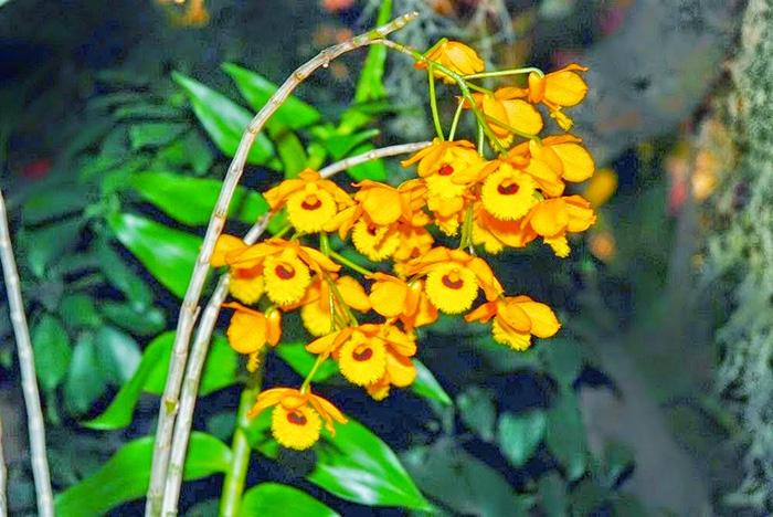 các giống lan rừng - Hoa lan Hoàng Thảo Long Nhãn