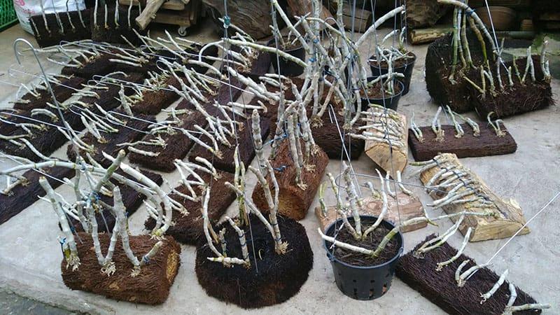 Dớn trồng lan - giá thể trồng lan