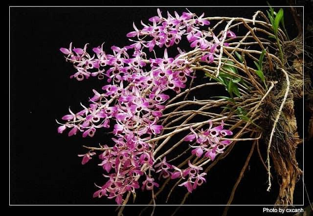 hoa lan kèn
