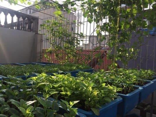Vườn rau trong nhà đang là xu hướng lựa chọn của nhiều gia đình