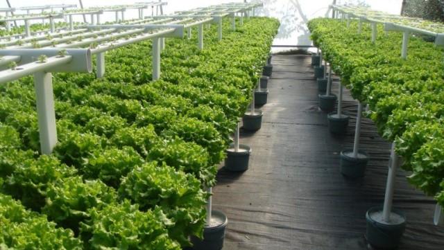 Áp dụng phương pháp thủy canh bạn sẽ thu được nhiều giống rau sạch.