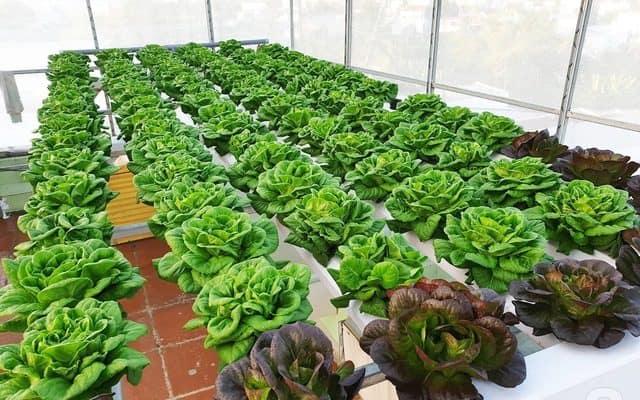 Cải tạo đất giúp vụ rau trồng phát triển tốt