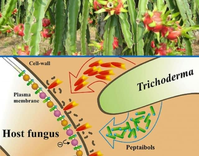 Giống nấm đối kháng có tác dụng tốt đối với cây ăn quả và hoa màu.