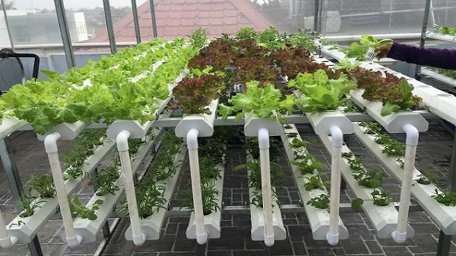 Hệ thống giàn trồng rau thủy canh.