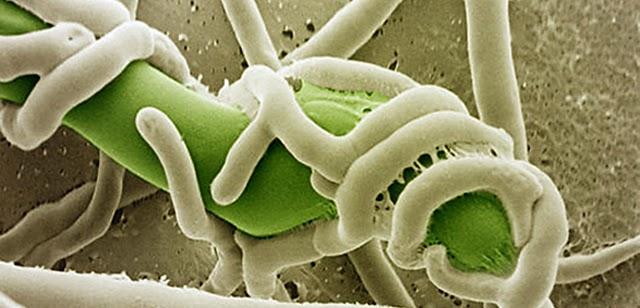 Nấm Trichoderma