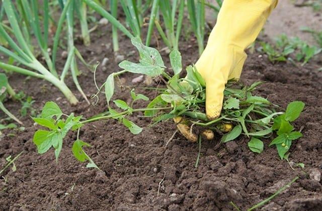 Nhặt sạch cỏ sau mỗi vụ thu hoạch rau