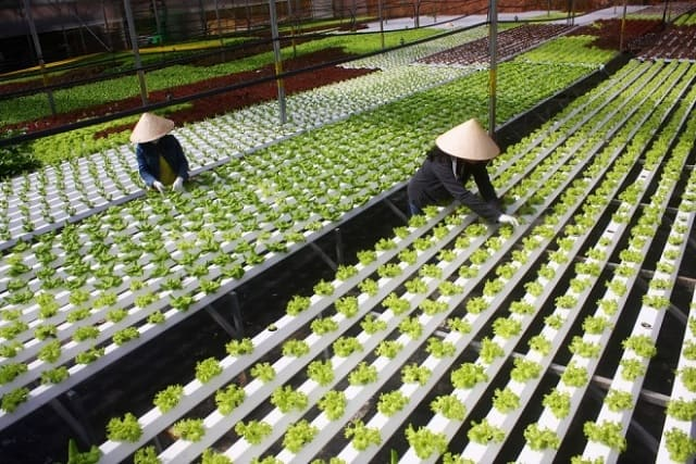 Phương pháp trồng rau thủy canh