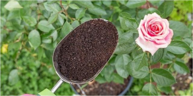 Trộn giá thể trồng hoa hồng
