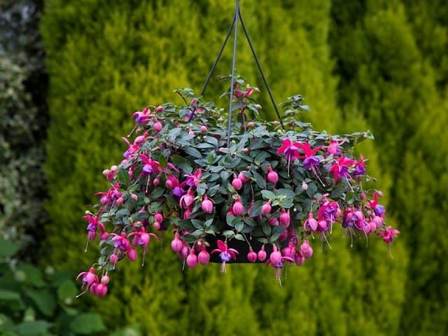 Cây hoa lồng đèn