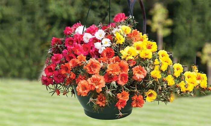 Mẫu chậu trồng hoa dạ yến thảo phong thảo ngọc thảo, hoa mười giờ